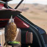 Сокол балобан на охоте от Bentley